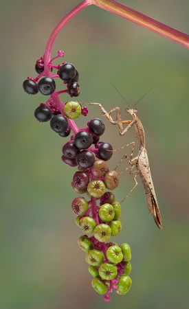 A male dead leaf mantis is sitting on a branch of poke weed. Stock Photo - 15408518