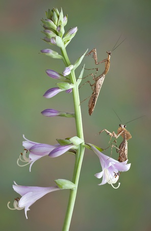 Two dead leaf mantids are climbing on some purple flowers. Stock Photo - 15408515