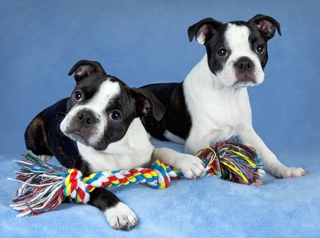 A portrait of two female Boston terrier littermates. Stock Photo - 15408528