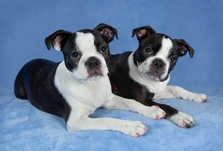 A portrait of two female Boston terrier littermates. photo