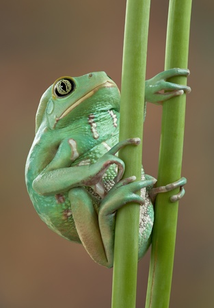 A waxy monkey tree frog is holding on to two plant stems. photo