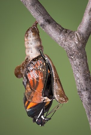 A viceroy butterfly is emerging from its chysalis through an open zipper. Stock Photo - 15408512