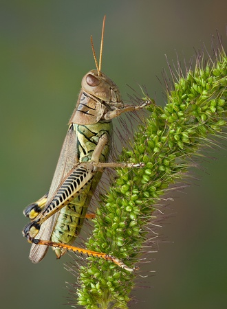 A grasshopper is sitting on a blade of foxtail grass. Stock Photo - 15576034