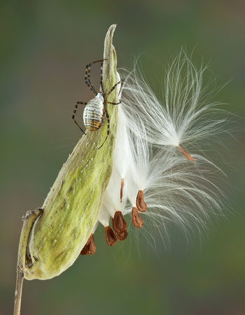 argiope: An argiope spider in climbing on a milkweed pod.