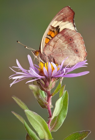A butterfly is perched on an aster flower. Stock Photo - 15982572