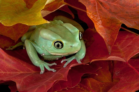 A waxy monkey tree frog is hiding in some fall leaves.