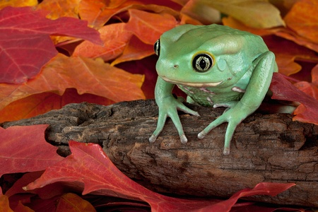 A waxy monkey tree frog is sitting on a fallen branch in some fall leaves.
