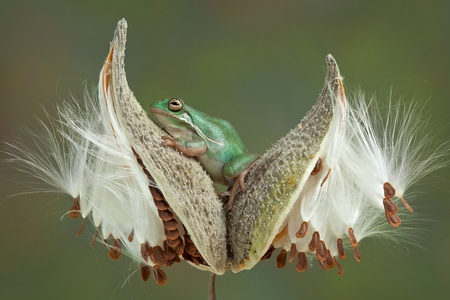 webfoot: A green tree frog is sitting between two milkweed pods. Stock Photo