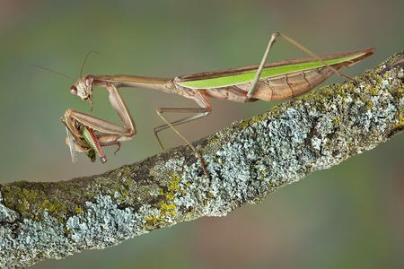 A praying mantis is eating a grasshopper while sitting on a branch. Stock Photo - 15982576