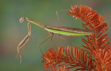 A praying mantis is perched on a dead evergreen branch. Stock Photo - 15982570