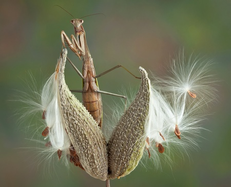 A praying mantis is perched on a milkweed pod Stock Photo - 15982566