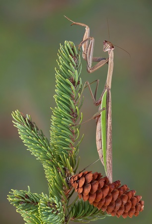 A praying mantis is perched on an evergreen branch. Stock Photo - 15982564