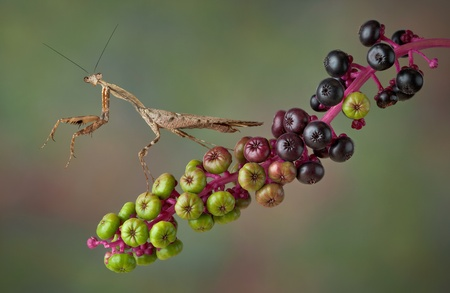 A dead leaf mantis is pawing the air while sitting on poke weed. Stock Photo - 15982562