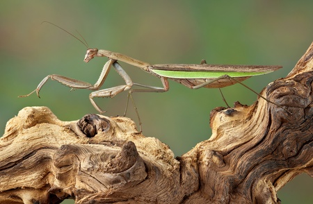 A praying mantis is walking on a dead branch. Stock Photo - 15982574