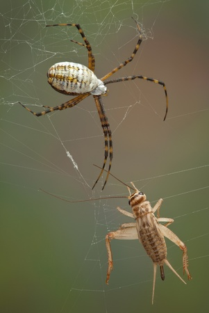 A female argiope spider is approaching a cricket caught in her web. Stock Photo - 15982561