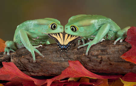 webfoot: Two waxy monkey tree frogs are holding a butterfly in their mouths.