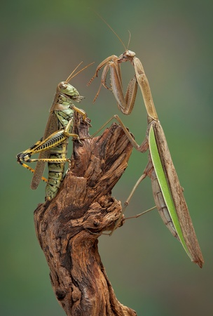 A praying mantis sees a grasshopper and is surprised.