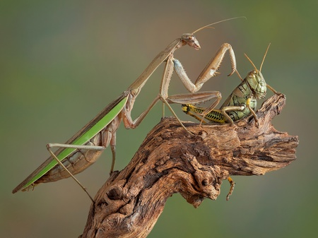 A praying mantis is touching a large grasshopper on his back. Stock Photo - 16911313