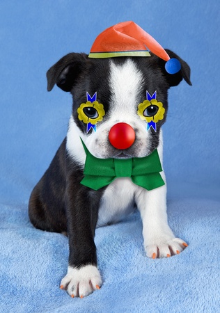 A Boston Terrier puppy looks like a clown with a hat, red nose, and bow tie.