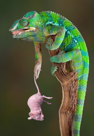 A male panther chameleon is holding a dwarf hairless rat by her tail. Stock Photo