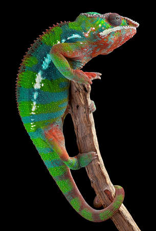 chameleon: A male panther chameleon is hanging on to a branch.