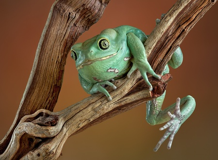 A waxy monkey tree frog is precariously holding on to a branch.