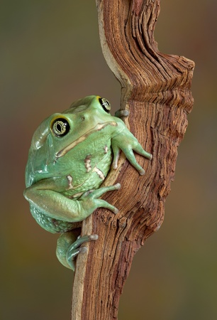 A waxy monkey tree frog is sitting on a branch looking at the camera. Stock Photo