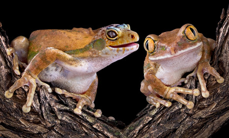 webfoot: A golden tree frog has the head of a leopard gecko and his friend can Stock Photo