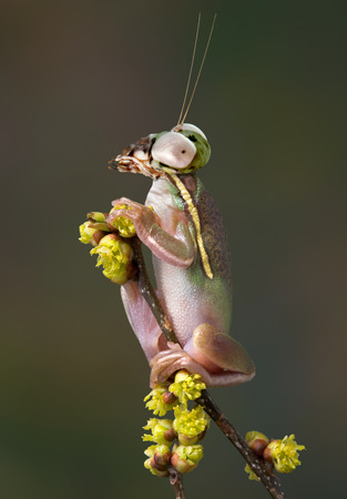 webfoot: A green tree frog has the head of a budwing mantis. Stock Photo