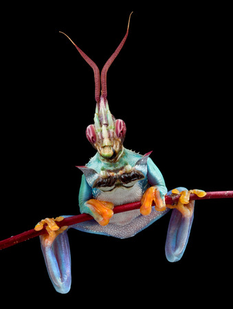 redeyed tree frog: A red-eyed tree frog has the upper body of an idolomantis.