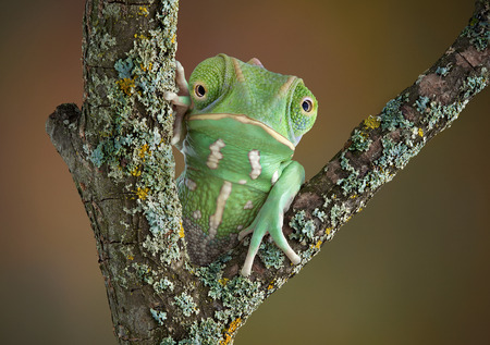A waxy monkey tree frog is sitting on a branch and seems to have the head of a chameleon. photo