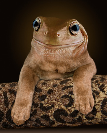 tree frog: A chocolate lab pup seems to have the head of a Whites tree frog.