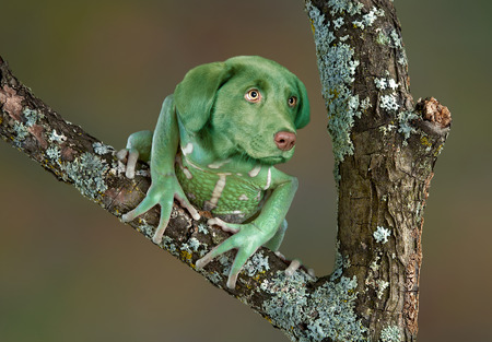A waxy monkey tree frog is sitting on a branch and seems to have the head of a puppy. photo