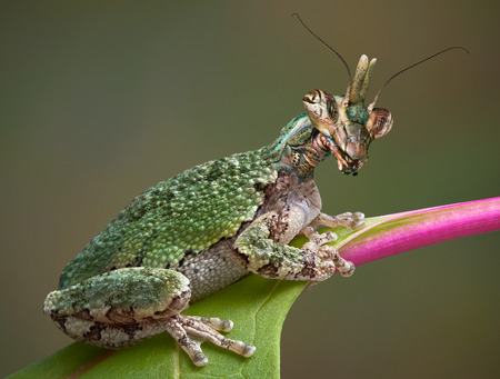 A grey tree frog is sitting on a leaf and appears to have the head of a Texas unicorn mantis. Stock Photo