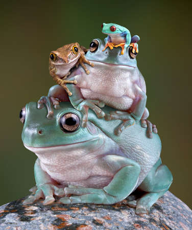 Several frogs are perched on the back of a whites tree frog.