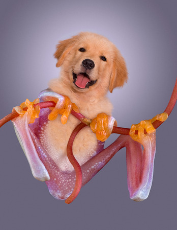 webfoot: A golden retriever puppy has the body of a red-eyed tree frog. Stock Photo