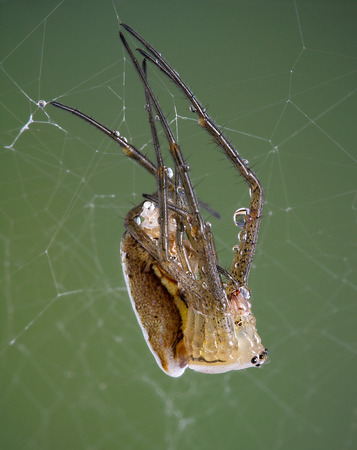 argiope: A young argiope spider is shedding its skin.