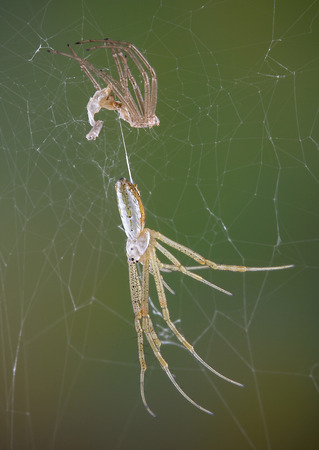 argiope: An argiope spider just shed her skin. Stock Photo