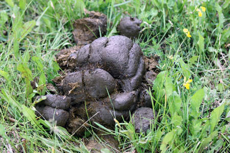 unhygienic: Horse dung on the green grass in the field
