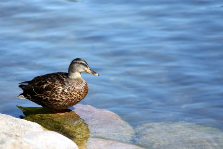 Duck standing still on the lake shore, picture with plenty of copy space on the right photo