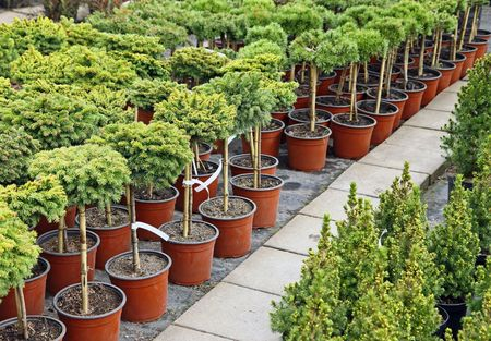 Coniferous garden plants being sold in plant nursery Stock Photo - 7857555
