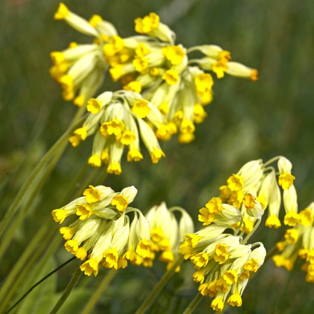 cowslip: Close-up of cowslip flowers  in natural green environment