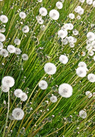 Closeup of white dandelions in the spring meadow Stock Photo - 9026531