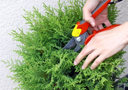 thuja: Hand holding clippers and pruning green decorative tree