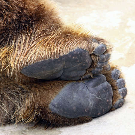 animal body part: close up photo on lying brown bear feet