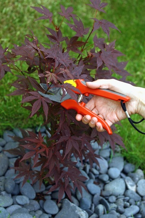 Hand holding clippers and pruning decorative maple tree photo