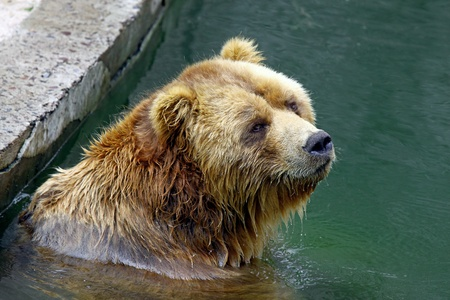 zoo as: Brown bear submerged in water as shot in natural zoo environment