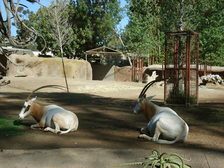 savana:                                         white oryx