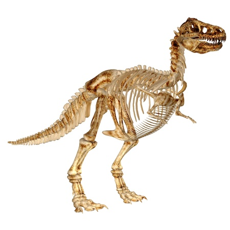 t bone: Illustration of the skeleton of a Tyrannosaurus-Rex  T-rex  isolated on a white background