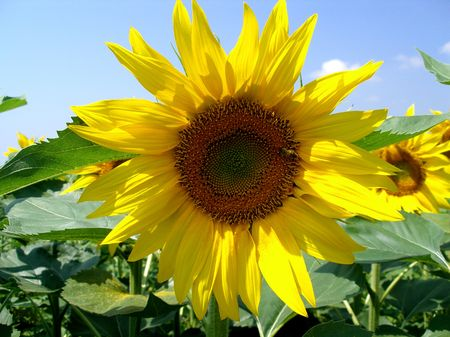 Sunflower close up with light blue sky photo